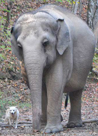 Bella and Tarra, devoted friends at The Elephant Sanctuary, Tennessee